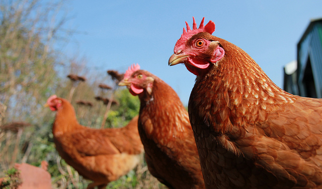 Chickens (you'll see why) | Matt Davis - Flickr - Creative Commons